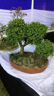 bonsai treeIMAGE