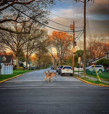 Deer on a suburban street