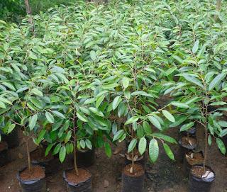 keunggulan durian musang king,durian musang king berbuah,durian musang king harga,klon durian musang king,durian raja musang,musang king raja kunyit,jarak tanam durian musang king,