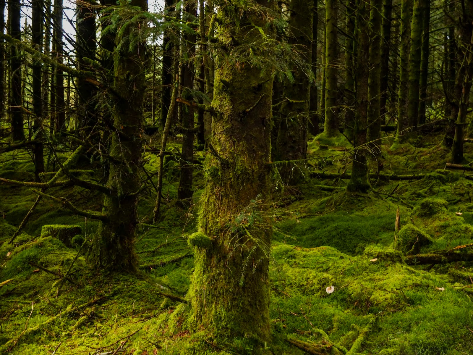 Mossy tree trunks in an ancient and untouched forest.