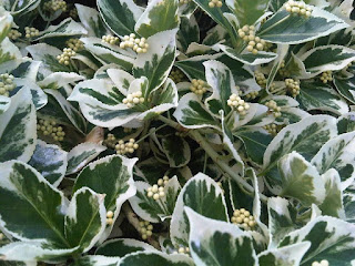 Euonymus fortunei 'Emerald Gaiety' foliage and flower bud