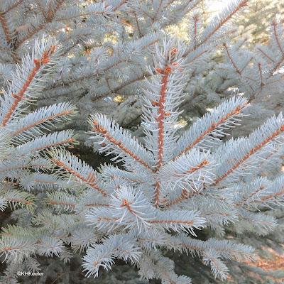 Colorado blue spruce, Picea pungens, foliage