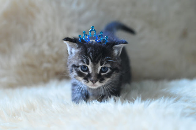 18/8.2014 - kitten royalty by julochka from flickr (CC-NC)