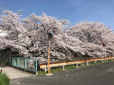 【枚方市&交野市】郡津駅から村野団地へ続く桜並木(京阪交野線沿い)