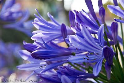 beautiful blue flowers, colombia, rio mocoa, Chris Baer