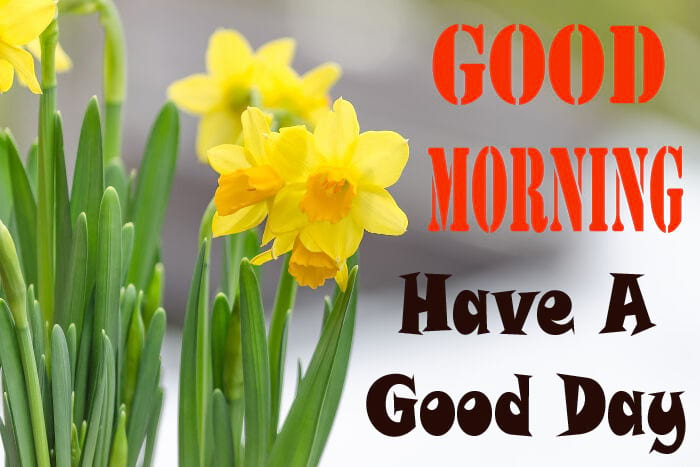 Good Morning With Daffodil Flowers