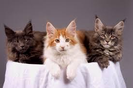 Maine Coon  -  Os gatos, geralmente, pesam entre 2,5 e 7 kg; entretanto, alguns exemplares, como o Maine Coon, podem exceder os 12 kg. Já foram registrados exemplares com peso superior a 20 kg, devido ao excesso de alimentação.