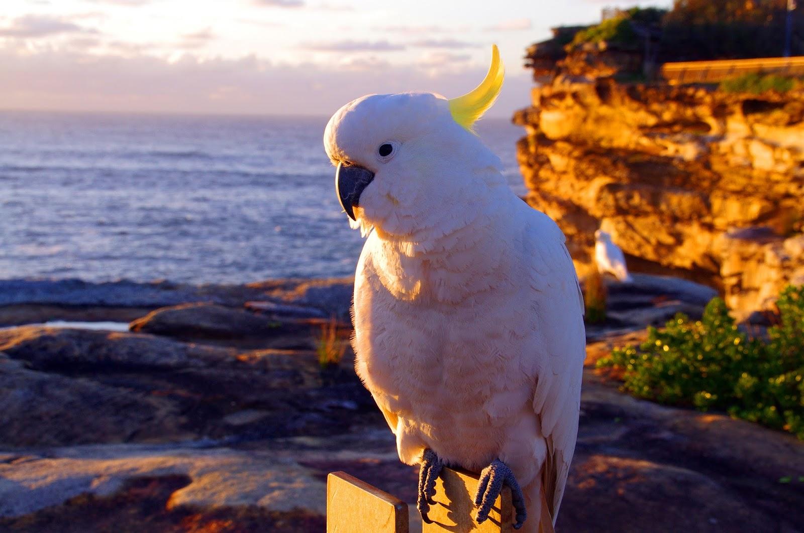 cockatoo in Sydney