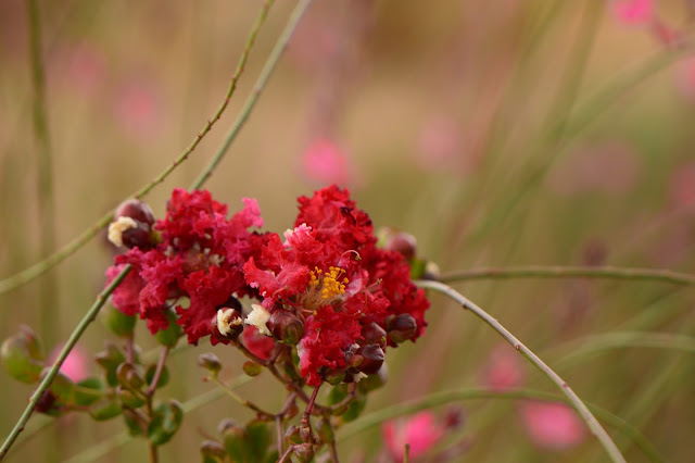 lagerstroemia, indica, dynamite, crape myrtle, crepe myrtle, small sunny garden, amy myers, photography, desert garden, summer bloom, august