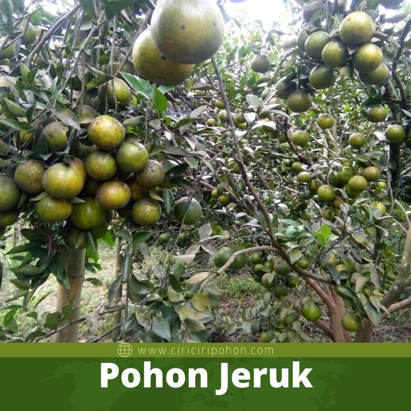 Pohon Jeruk