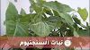 نبات السنجنيوم أو رجل البطة Syngonuim