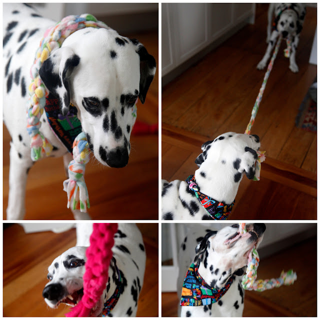 Dalmatian dogs playing with homemade woven fleece dog tug toys