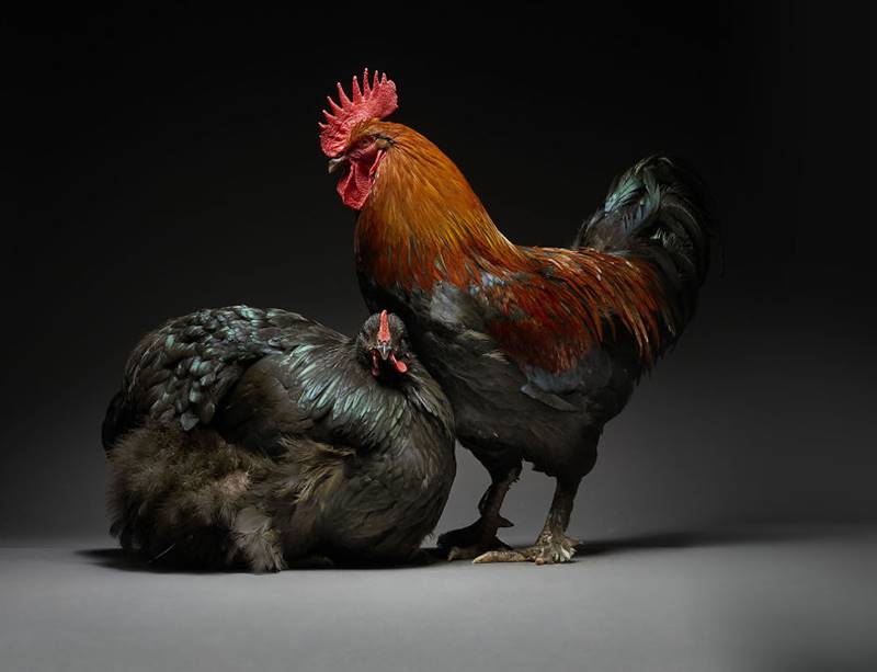 Chicken Couple Photoshoot | Photographers Celebrate Diversity In Love