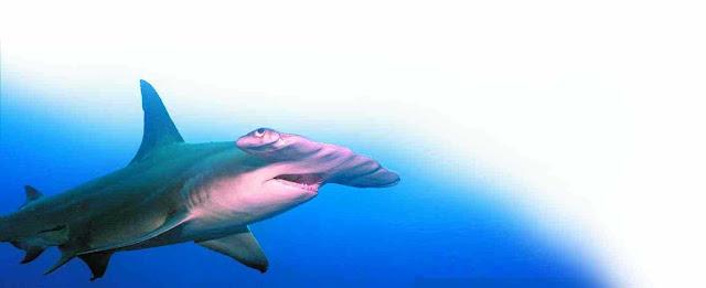 """Misalnya seperti: """"bagaimana ikan hiu martil menyeleksi pasangannya?"""""""