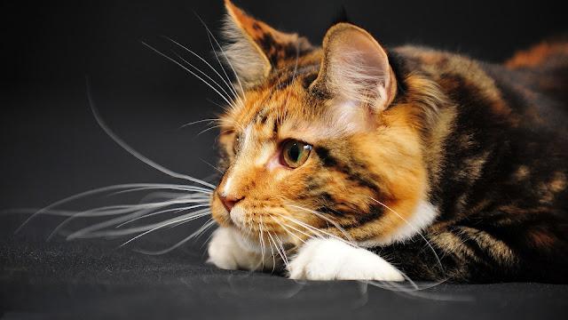 Kat aan het luieren