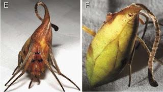 نوع جديد من العنكبوت يشبه ورقة