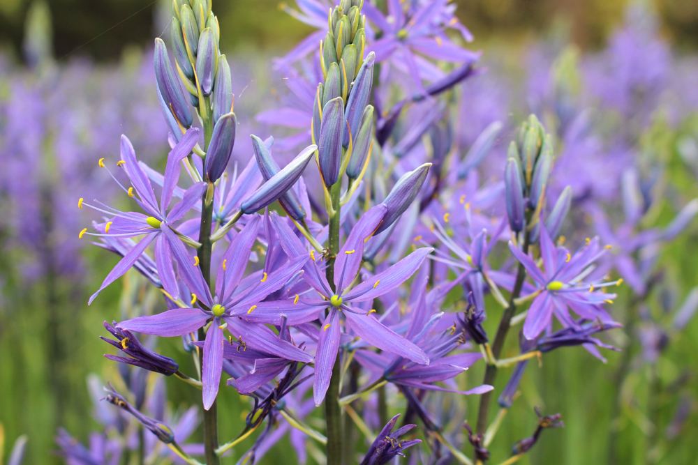 Camassia at Kew Gardens in Spring - London lifestyle blog