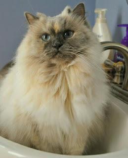 15 Cara Merawat Kucing Persia Panduan Khusus Pemula