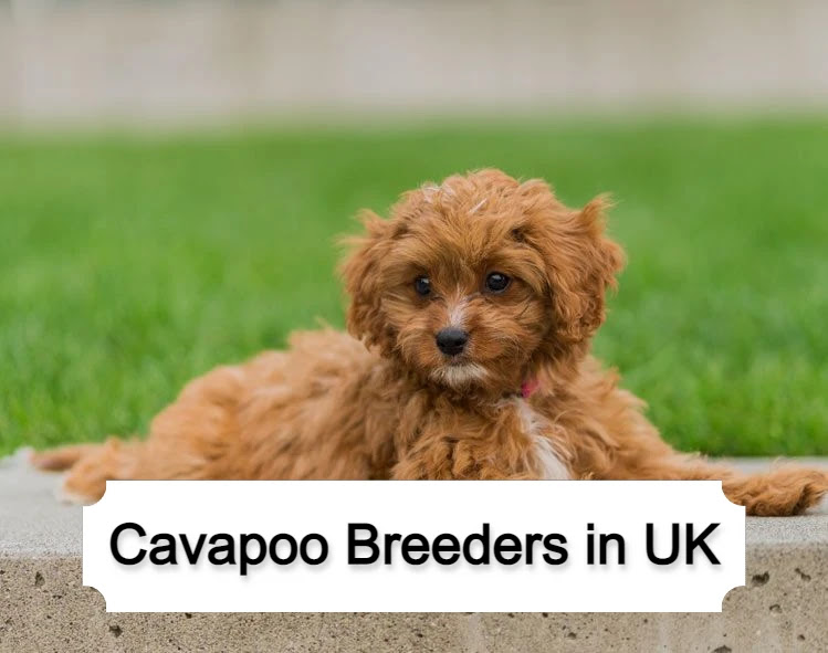 Cavapoo Breeders in UK