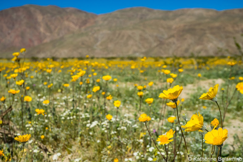 Desert Sunflowers Henderson Canyon Road Southern California Anza-Borrego Desert Wildflowers