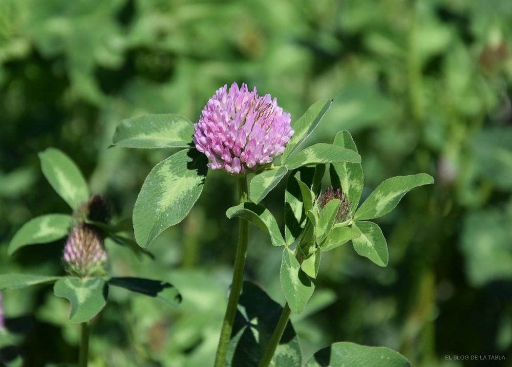 Flor de trébol rojo (Trifolium pratense)