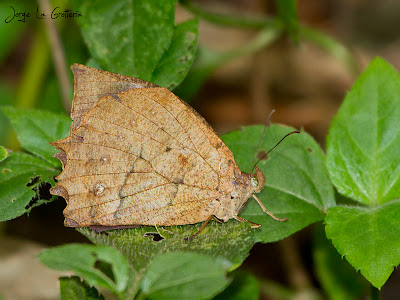Mariposa rastrera festoneada Taygetis ypthima