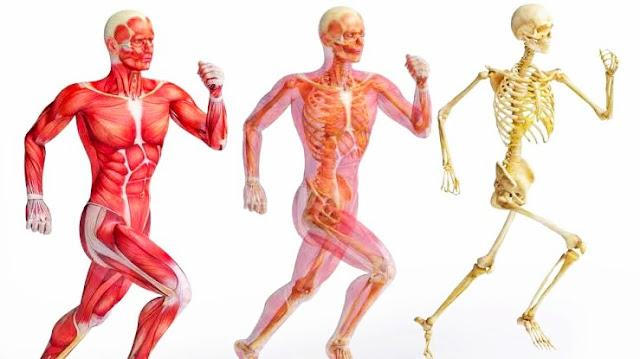 كم عدد عضلات جسم الانسان وما هي أنواع عضلات جسم الإنسان ومكونات الجهاز العضلي 2