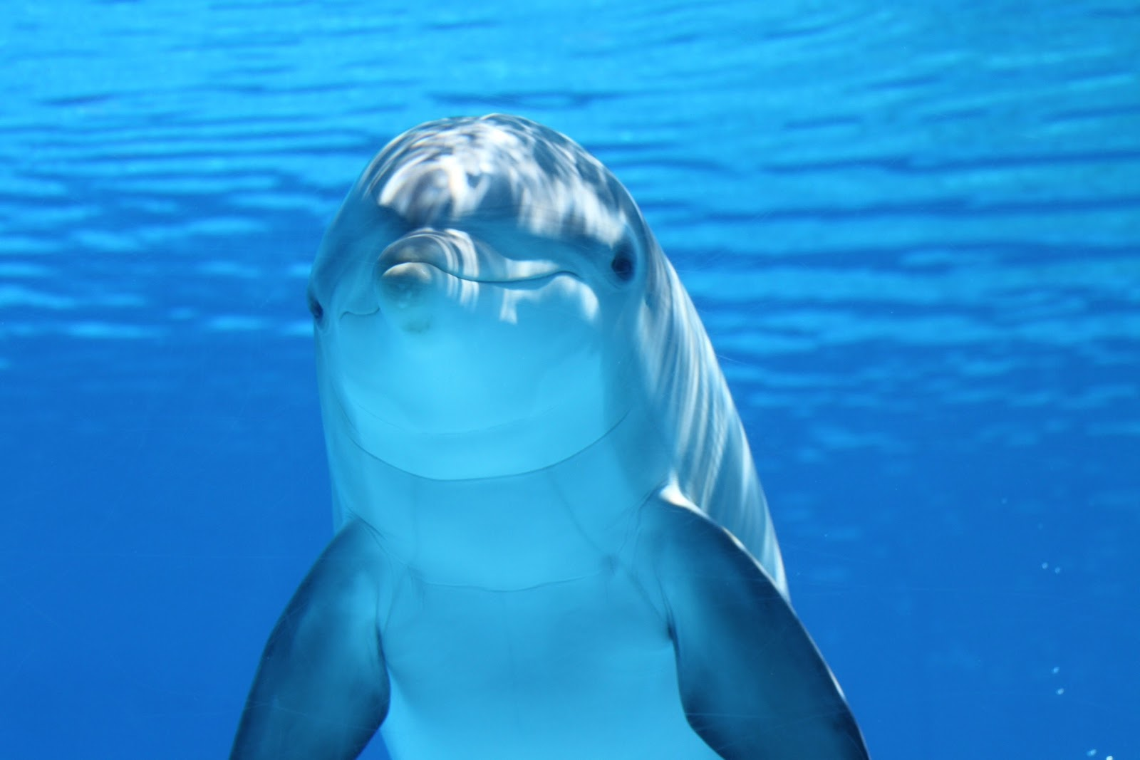 white-and-gray-dolphin-on-blue-water-pictures