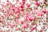 100+ Most Beautiful Flowers Cherry Blossom HD Images