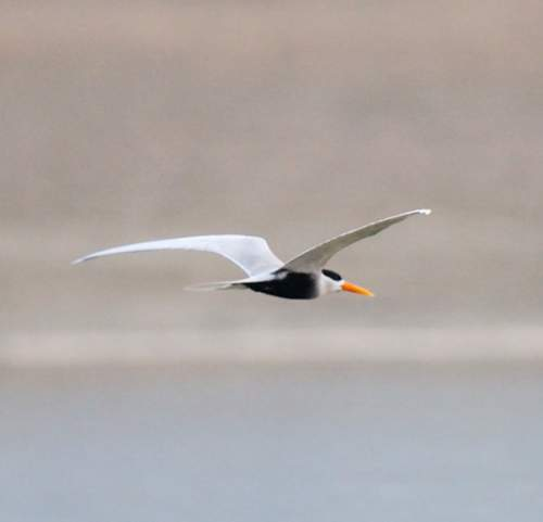 Indian birds - Photo of Black-bellied tern - Sterna acuticauda