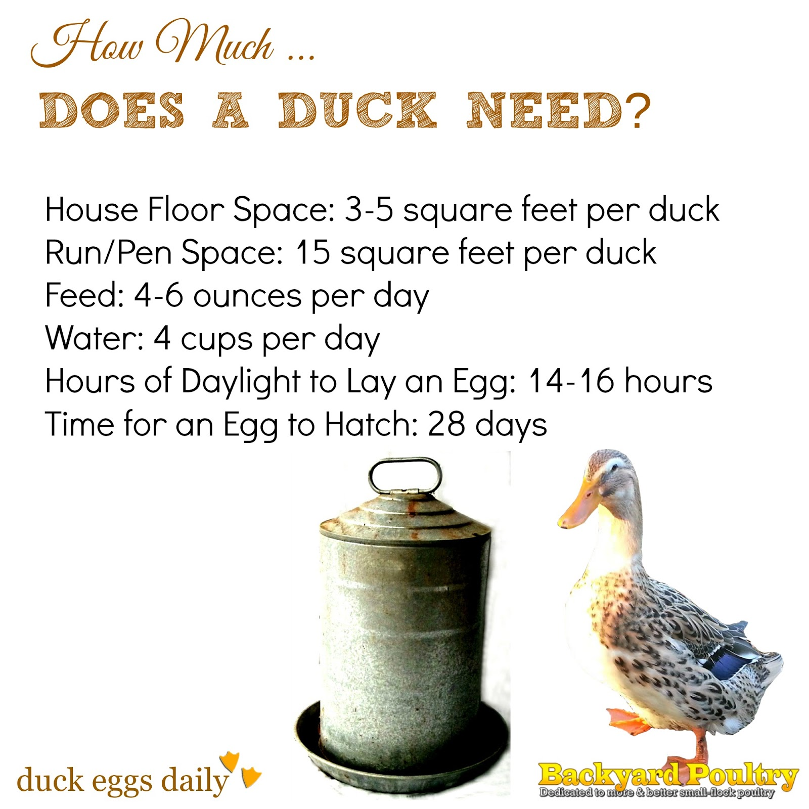 How Much Space... Feed... Water... Light Does A Duck Need