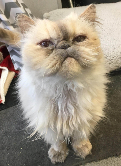 white-and-grey long-haired Persian cat with slightly flat face