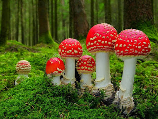 jamur amannita verna beracun