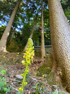 [Scrophulariaceae] Verbascum alpinum – Mullein (Verbasco alpino).