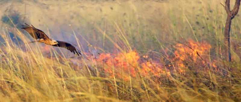 불을 이용해서 사냥하는 새