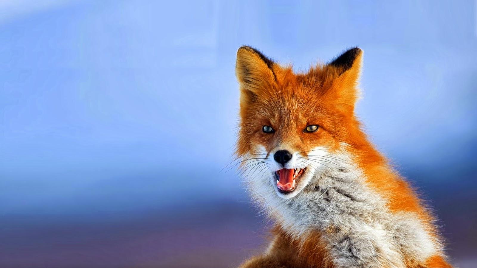 Imágenes De Animales En Hd Para Fondo De Pantalla: Fondo De Pantalla Animales Zorro Marron