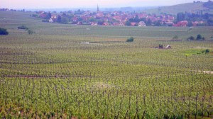 Grape vines in Alsace France