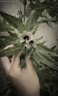 Solanaceae, Hyoscyamus Niger, Black Henbane, Stinking Nightshade, Beleño Negro, Herba Queixalera