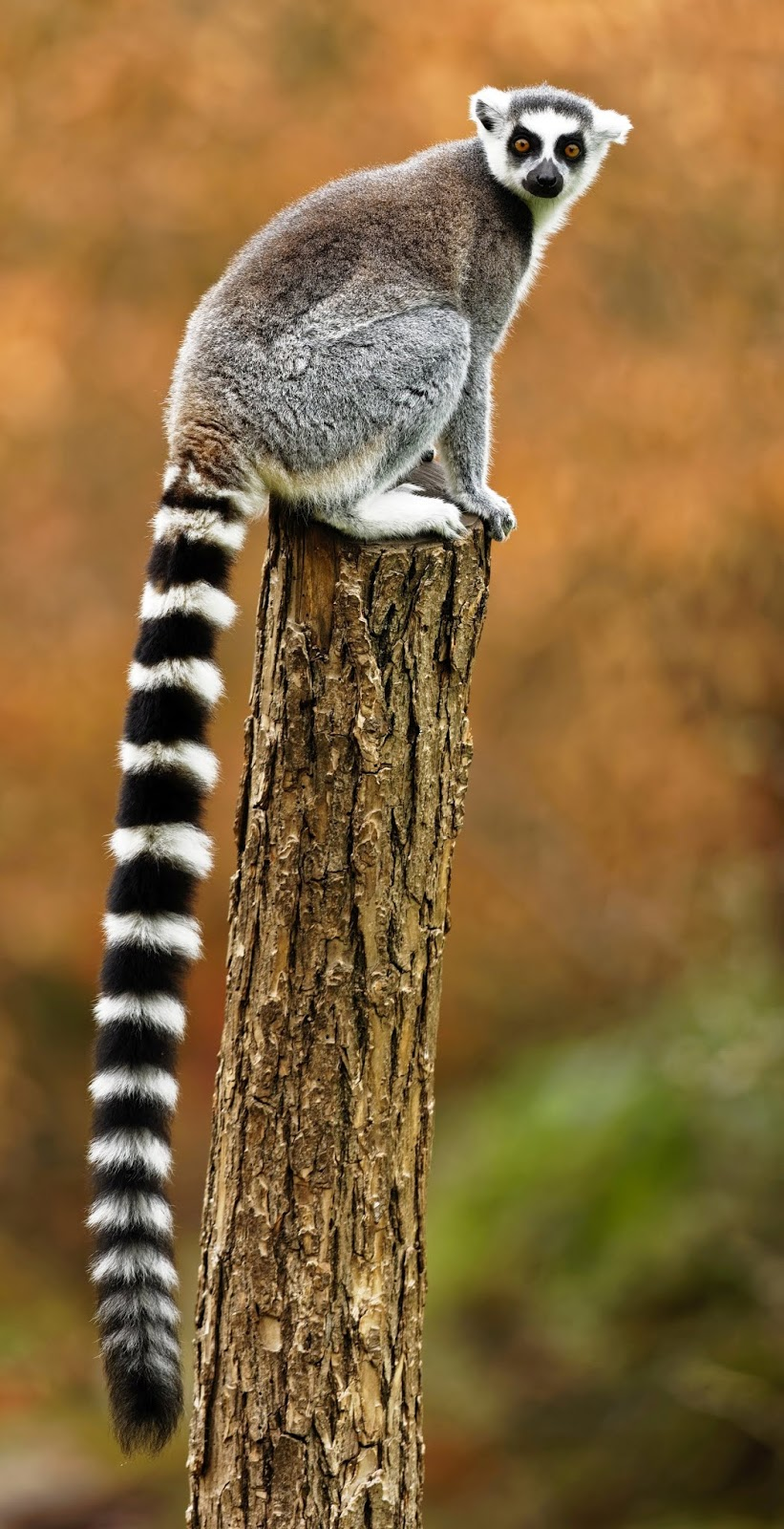 A ring-tailed lemur.