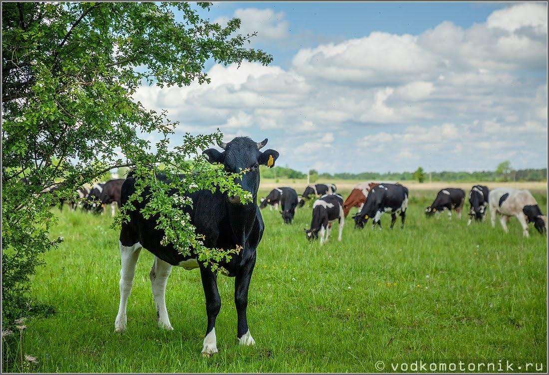 Корова прячется от участников велопробега