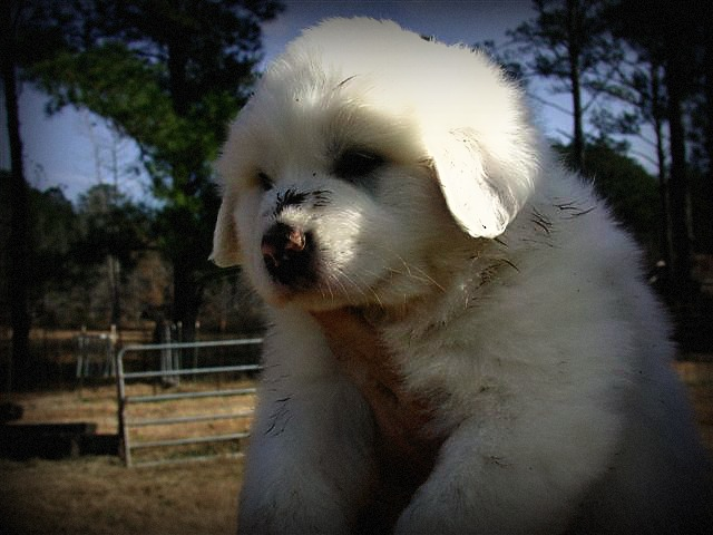 Southern Touch Farm Great Pyrenees Guardian Dogs