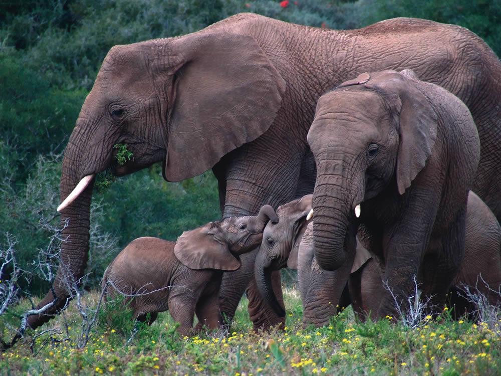Resultado de imagem para Caça causa diminuição rápida da população de elefantes