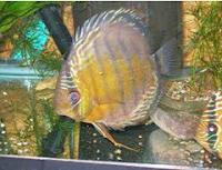 Ikan Hias Air Tawar Termahal brown discus