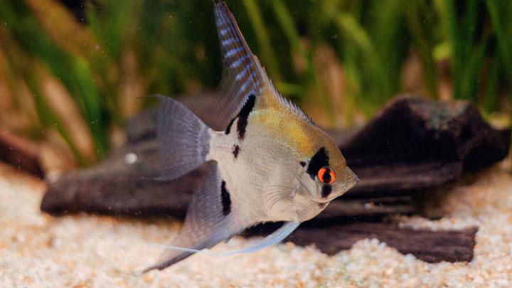 angelfish habitat