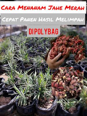 Cara menanam jahe merah hasil melimpah di polybag
