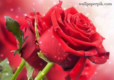 cute wallpaper rose ideas wallpaper hd image