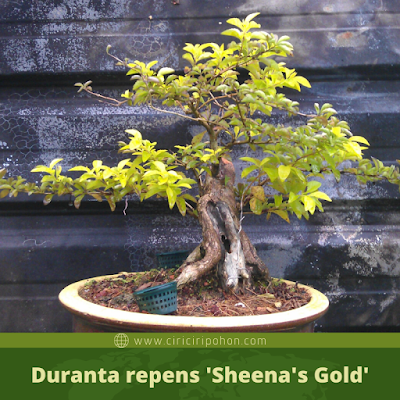 Duranta repens 'Sheena's Gold'