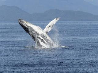 ब्लू व्हेल। Blue whale