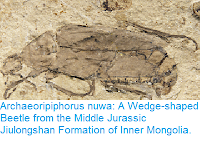 http://sciencythoughts.blogspot.co.uk/2017/03/archaeoripiphorus-nuwa-wedge-shaped.html