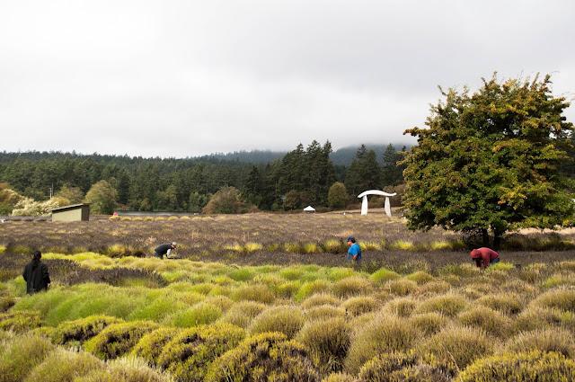 Lavender Harvest and Distillation at Pelindaba Lavender Farm